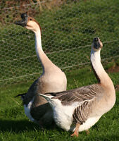 Chinese Swan Geese