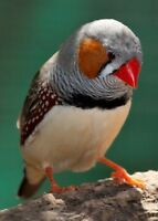 Zebra finches for sale with cages 2 per cage