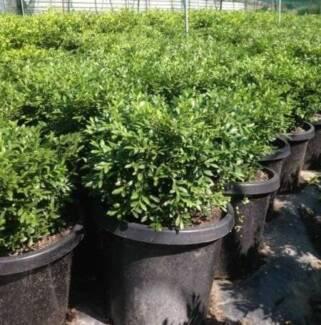 Buxus Microphylla Koreana, Korean Buxus, Micro Microphyla - 300mm