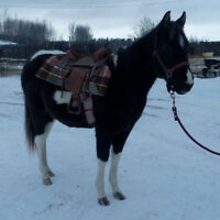2 year old Black Tobaino Paint Colt - Started with Saddle