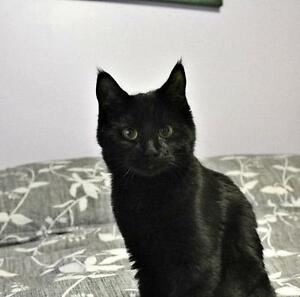 "Young Female Cat - Domestic Short Hair: ""Elvira Veritas"""