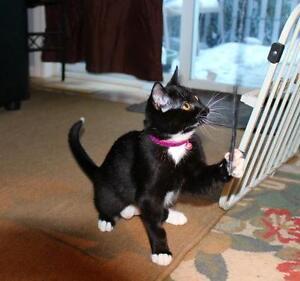 "Baby Female Cat - Domestic Short Hair: ""Wednesday"" Strathcona County Edmonton Area image 3"