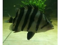 Datnoid/Tiger Fish for sale