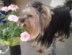 PB Registered Yorkshire terriers Yorkie male and female