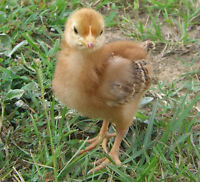 2 WEEK OLD PUREBRED FEMALE LAYING CHICKS / CHICKENS AVAILABLE