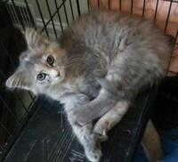 """Young Female Cat - Dilute Calico: """"Coral"""""""