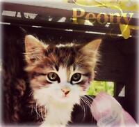 "Baby Female Cat - Domestic Medium Hair: ""Peony"""