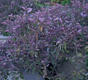 Vitex Trifolium Purpurea Fascination Arabian Lilac Quart Plant