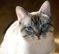 """Young Male Cat - Bengal-Siamese: """"Riot"""""""