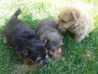 Three morkies looking for forever homes