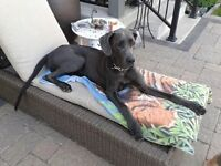 10 month old great dane for sale