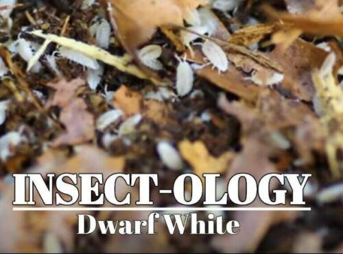 Live Dwarf White Isopods - Vivarium Cleaner counts of 15 25 50 100 400