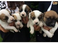 Jack Russell X French Bulldog puppies for sale