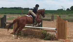 Lovely Welsh X Mare for sale London Ontario image 3