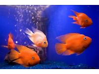 Beautiful Parrot Fish - 10 - 12 cm