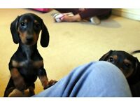 MINIATURE DACHSHUND BOY AND GIRL PUPPIES