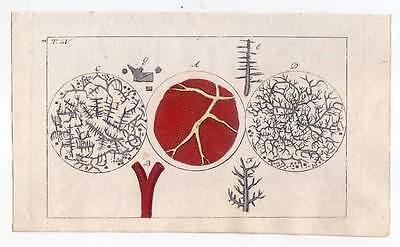 Blut-Mikroskopie-Medizin-Anatomie - Kupferstich 1810 G. T. Wilhelm