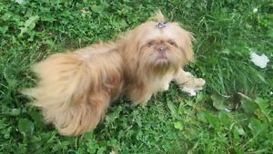 "They will be beautiful "" Non Registered Litter "" Shih Tzu"