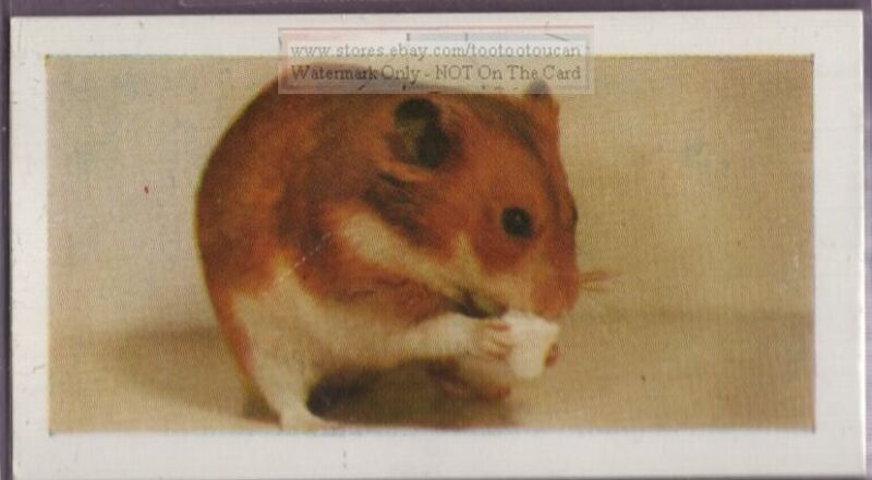 How To Care For Your Pet Golden Hamster Vintage Trade Card