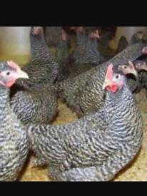 CHICKENS. SPECKLEDYS P.O.L
