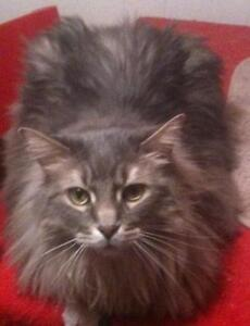 Adult Female  - Domestic Long Hair-gray-Tabby