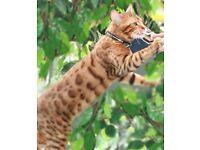 Beautiful Male Pedigree Bengal Cat