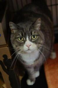 Adult Female  - Domestic Short Hair - gray and white-Tabby