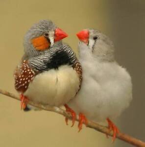 Pair of Zebra finches with a Vision bird cage.