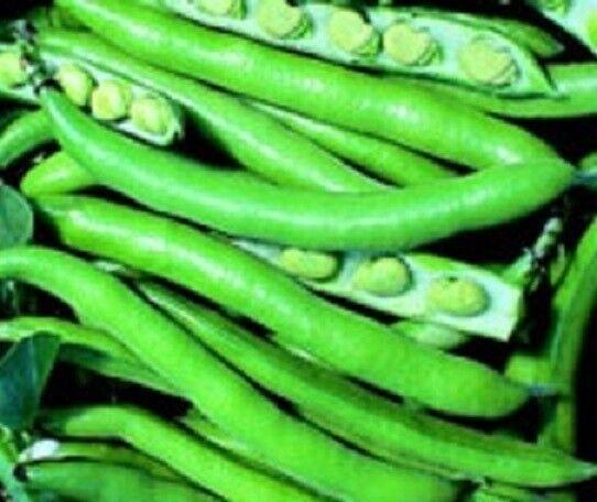 Purpur geblümt Ackerbohne Gemüse 75 Samen