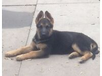 German shepherd female. KC registered.