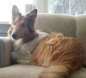 "Young Female Dog - Collie: ""Autumn"""