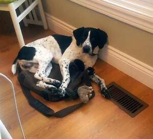 Young Male  - German Shorthaired Pointer-Bluetick Coonhound
