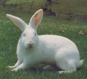 Wanted -  White Male Rabbit
