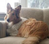 """Young Female Dog - Collie: """"Autumn"""""""