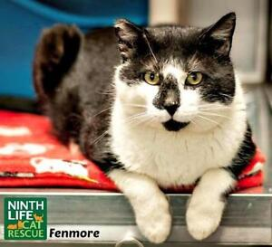 "Adult Male Cat - Domestic Short Hair: ""Fenmore"""