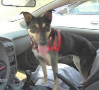 "Adult Female Dog - German Pinscher: ""TIANA"""