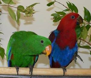 Eclectus Babies Handraised from Breeder Perth Perth City Area Preview