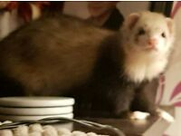 Ferrets and cage