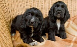 Looking for Cocker Spaniel puppy