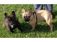 2 gorgeous male Frenchbulldogs