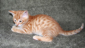 Unusual Half Savannah Ginger Kitten