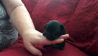 Chihuahua Puppy Male Black For Sale . Ready in 8 weeks.