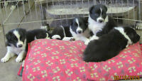 Border Collie Pups ( CBCA ) Registered