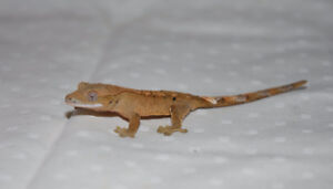 Tan/Orange Dalmation Crested Gecko.
