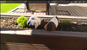 2 male guinea pig with cage