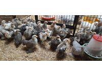 Silver Partridge Pekin Bantam growers