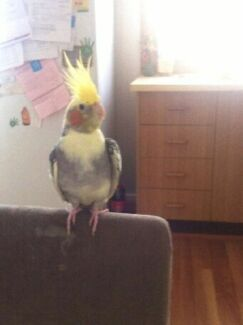 Lost cockatiel Kurri Kurri Cessnock Area Preview