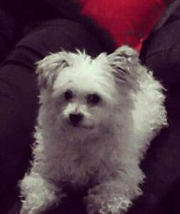 Missing Dog Wanneroo Wanneroo Wanneroo Area Preview