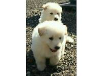 White GSD pups for sale
