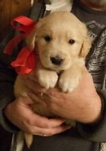 WANTED:: Labrador or Golden Retriever Puppy !! Arndell Park Blacktown Area Preview